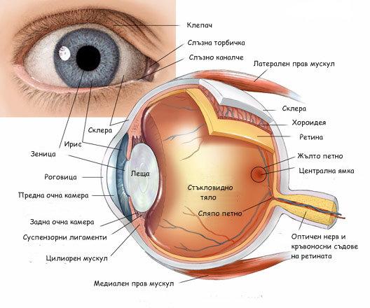 Ролята на колагена в човешкото око