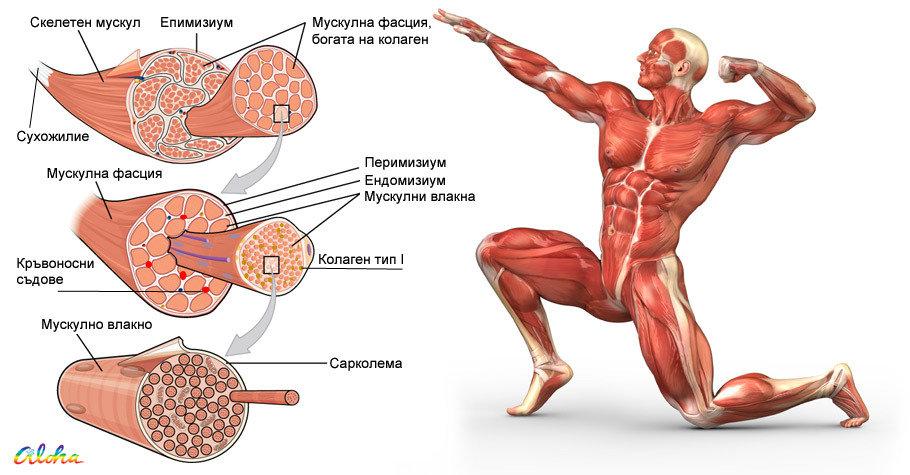Колагенът в скелетните мускули