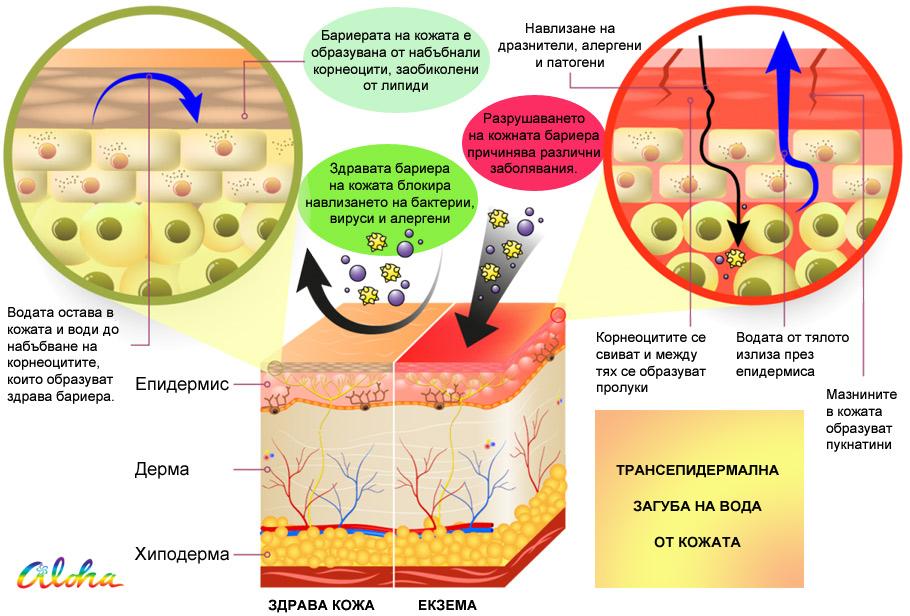 Трансепидермална загуба на вода от кожата